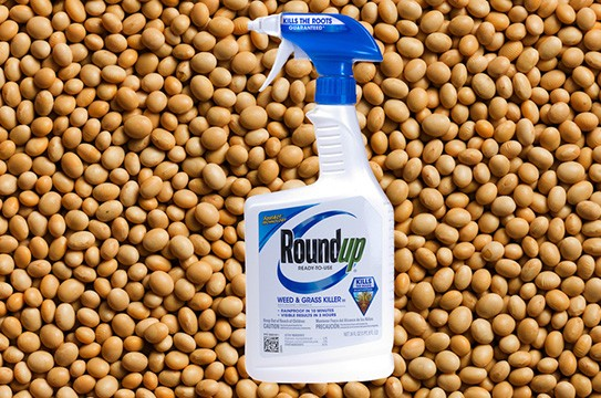 roundup soybeans Late-season glyphosate applications in roundup ready soybean can be off label christy sprague posted on august 6, 2009, michigan state university extension, department of crop and soil.