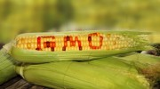 Gmo-Corn-Crop-Stalk